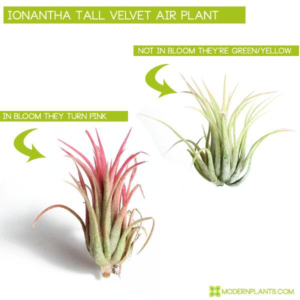 air plant in bloom