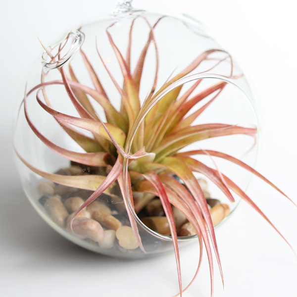 brachycaulos air plants for sale